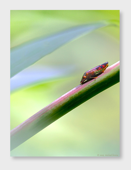 wp03leafhopper1wp.jpg